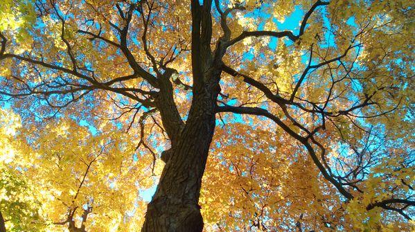 Glare of leaves on a warm November thumbnail