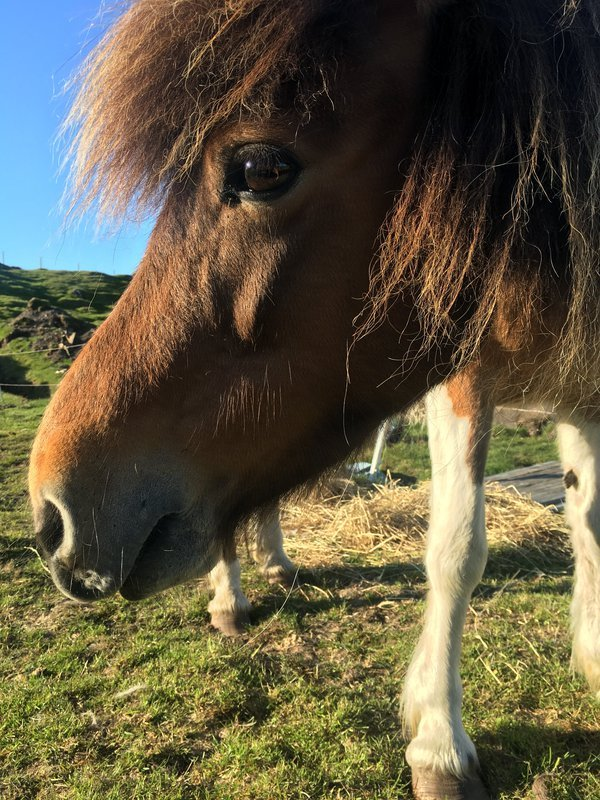 Myrra the Faroese Horse thumbnail