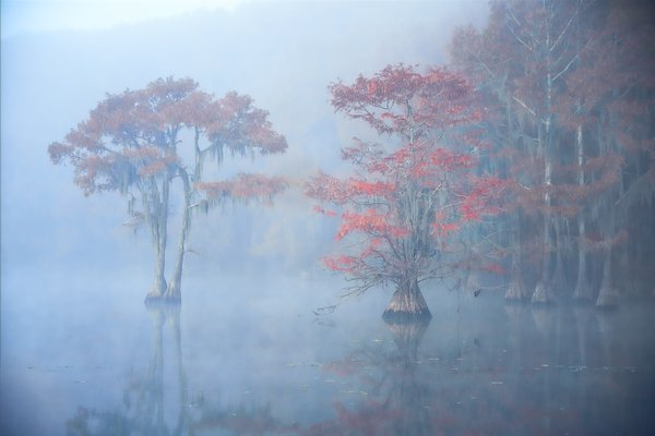 Bald Cypress in Fall Regalia shine through morning fog in the swamp thumbnail