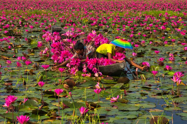 Harvesting waterlily thumbnail