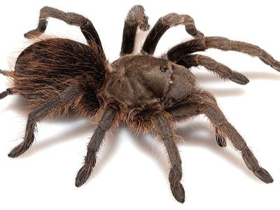 Researchers identified that ancestral tarantulas arrived in the Americas 120 million years ago during the Cretaceous period.