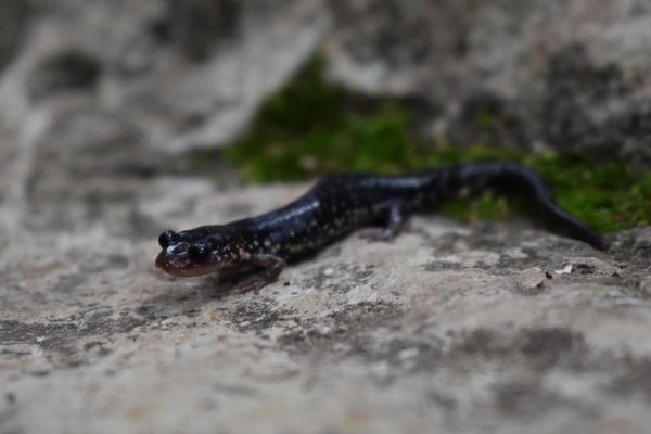 Western Slimy Salamander thumbnail