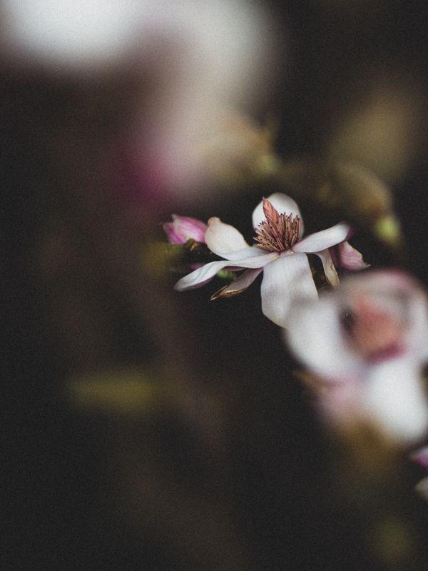 magnolia bloom (I) thumbnail