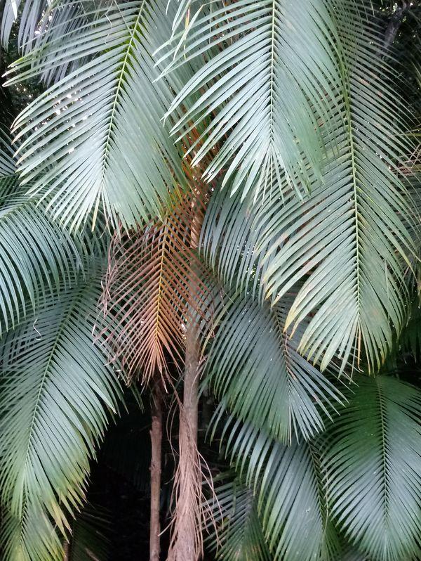 Feather palms thumbnail