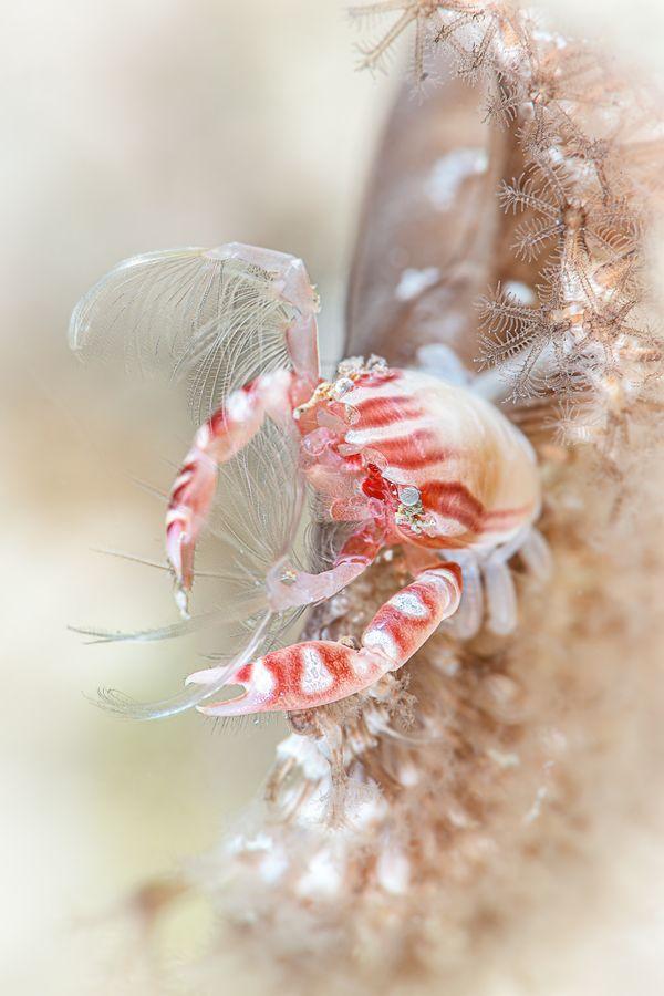Haig's porcelain crab feeding at night thumbnail