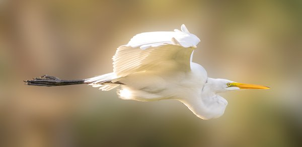 Getting ready to leave the wetlands park and saw an egret coming in low heading for what appeared to be a roosting location. Swung the camera up freestyle and captured this awesome photograph.