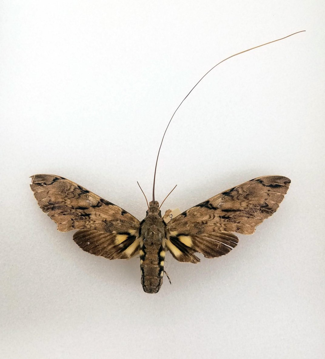 Preserved Morgan's sphinx moth on a white background