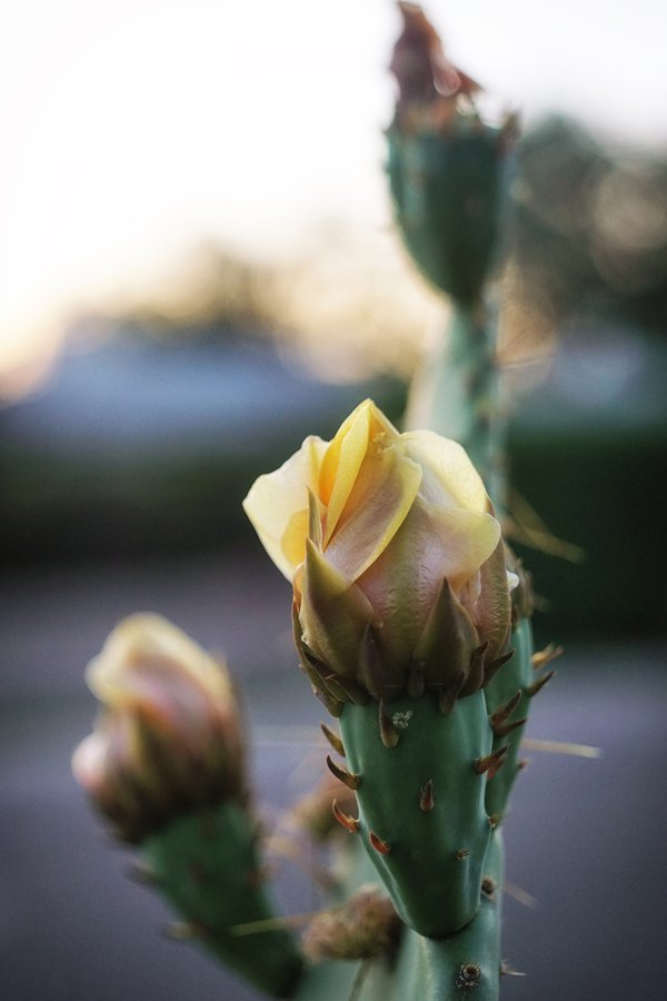 Desert Rose - Yellow Cactus Flower thumbnail
