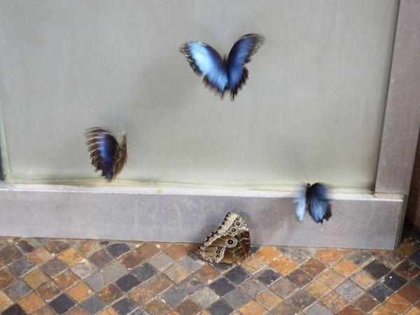 Butterflies at Play thumbnail