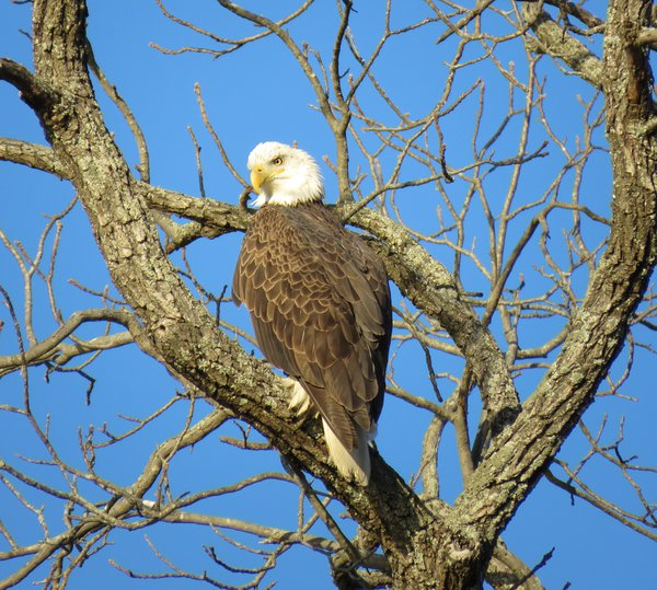 Bald Eagle On The Hunt thumbnail