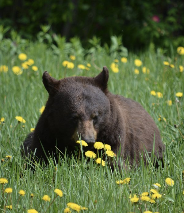 A bear enjoying the first dandelions of spring thumbnail