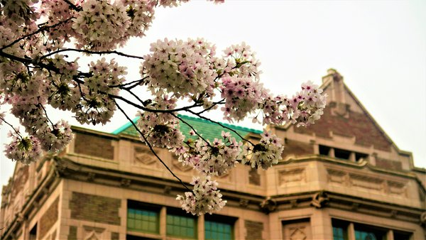 Cherry Blossom in Front of Savery thumbnail