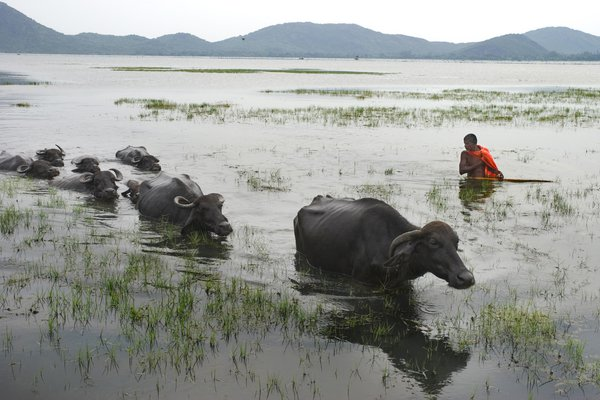 A man is crossing a lake with his buffaloes. thumbnail