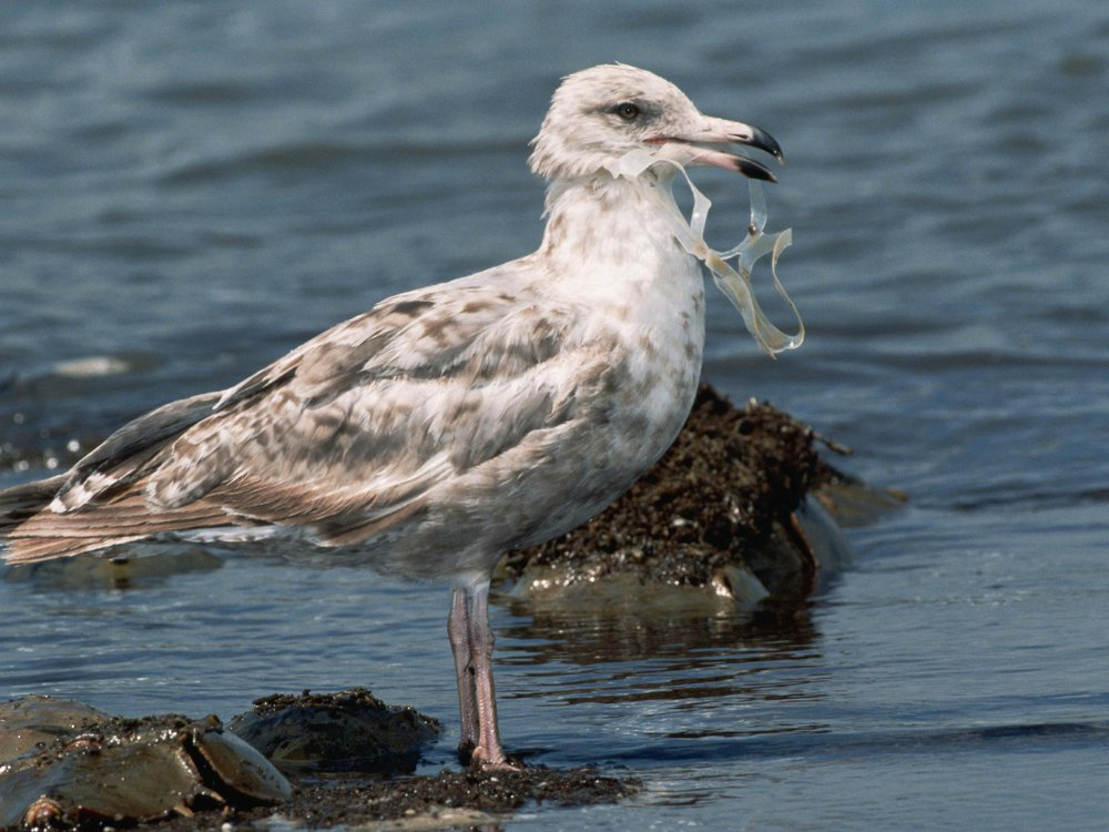 Bird Eating Plastic