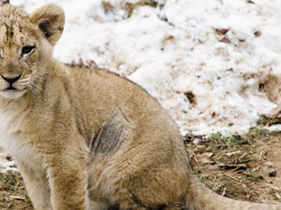 Visitors to the National Zoo might glimpse one or more of the seven lion cubs born there in August and September.