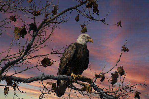 Bald Eagle Perching on a Branch thumbnail