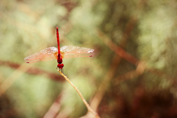 Close up of red dragonfly resting on a branch thumbnail