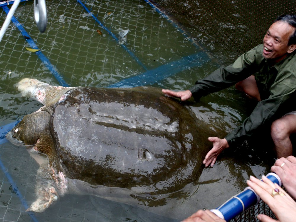 Yangtze giant soft-shell turtle
