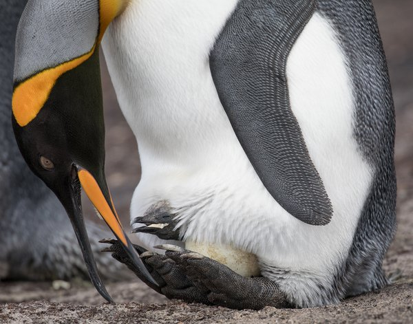 King Penguin, hatching thumbnail