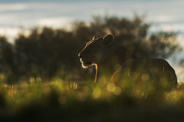 Portrait of a lioness at dawn thumbnail