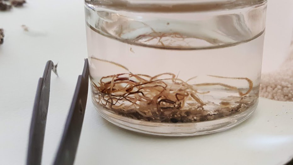 Clear vial with water and brownish-orange worms