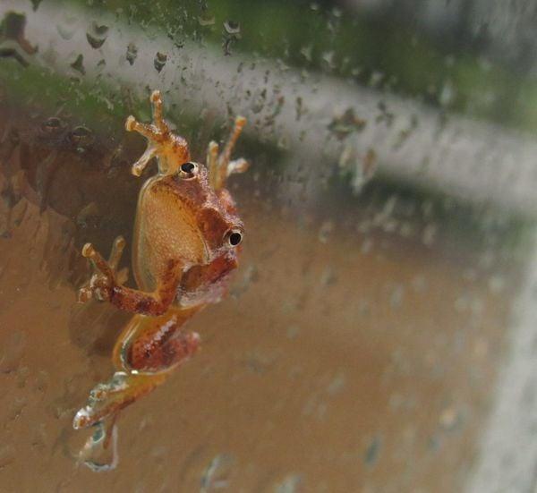 Orange Frog thumbnail