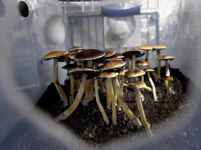 The study was small, lacked diversity in its participants and may have been affected by the volunteers' expectations of taking the psychedelic drug. However, it suggests that this may be a fruitful path in the search for new antidepressants.