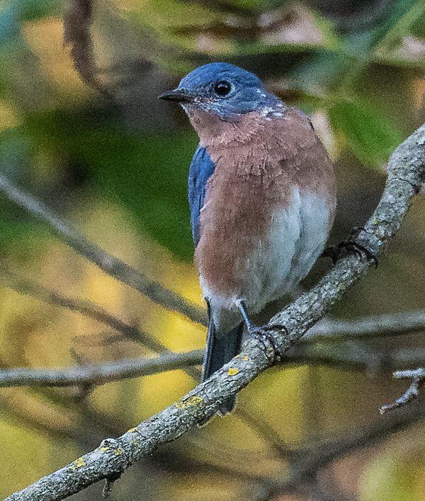 Bluebird looking around thumbnail