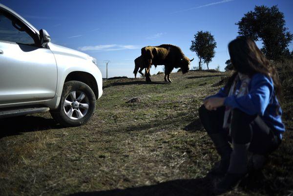 Recovering European bison in Spanish pastures thumbnail