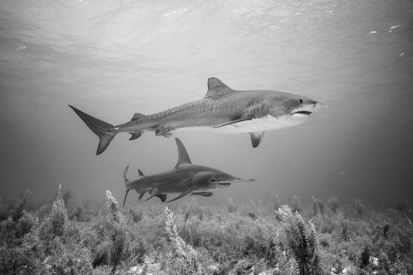 Iconic sharks thumbnail