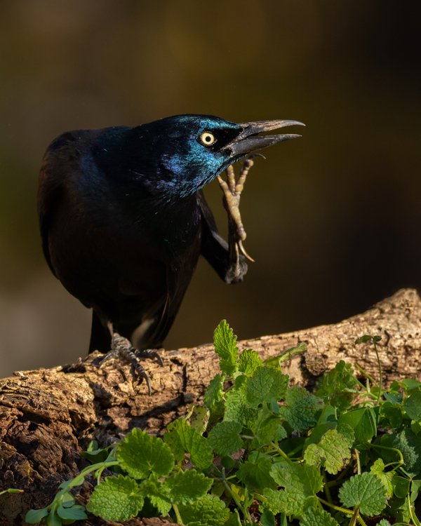 Scratching Grackle thumbnail