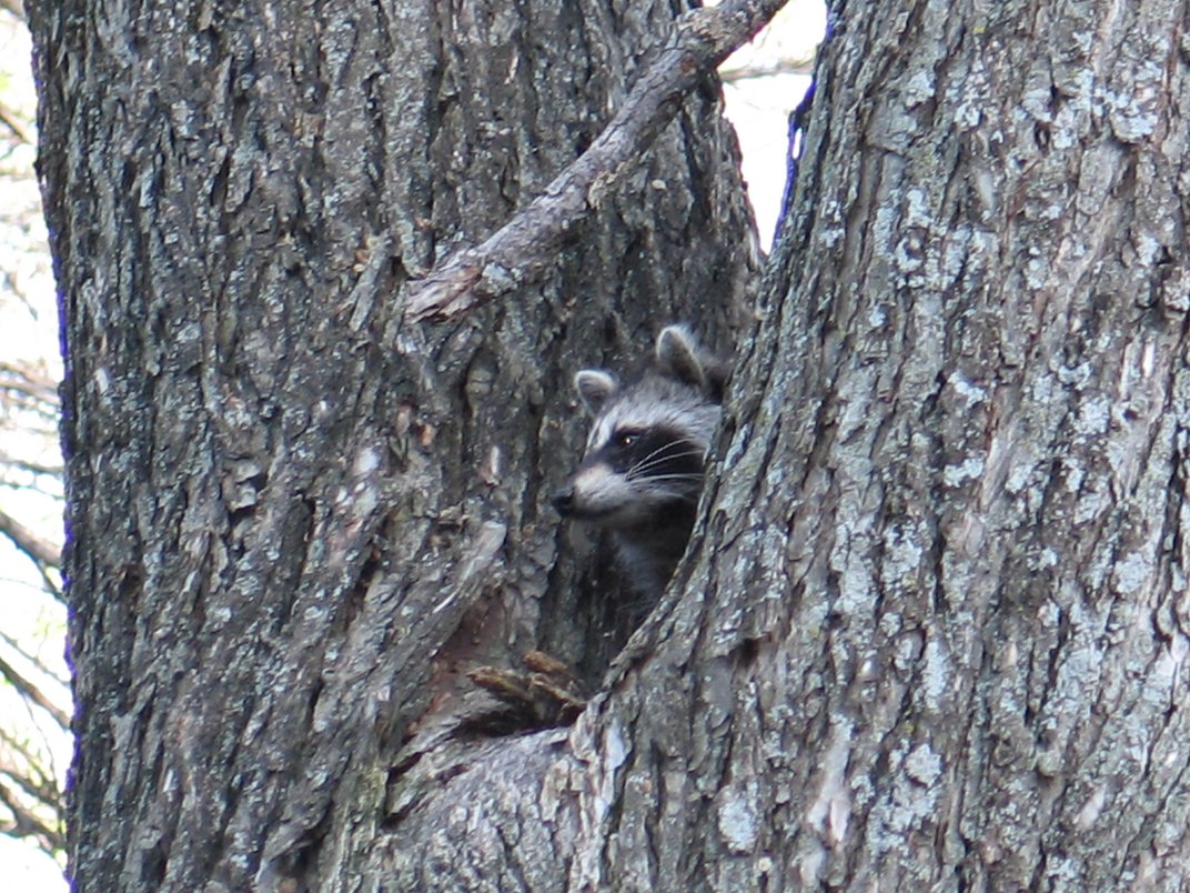 A raccoon that is just part of the wilderness in my ...