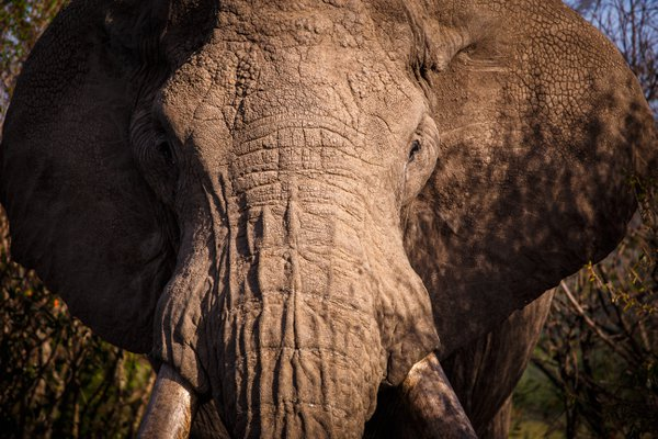 Hugo the elephant, Kenya thumbnail