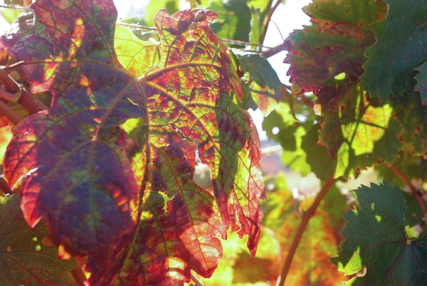 Beautiful leaves changing in Sonoma thumbnail