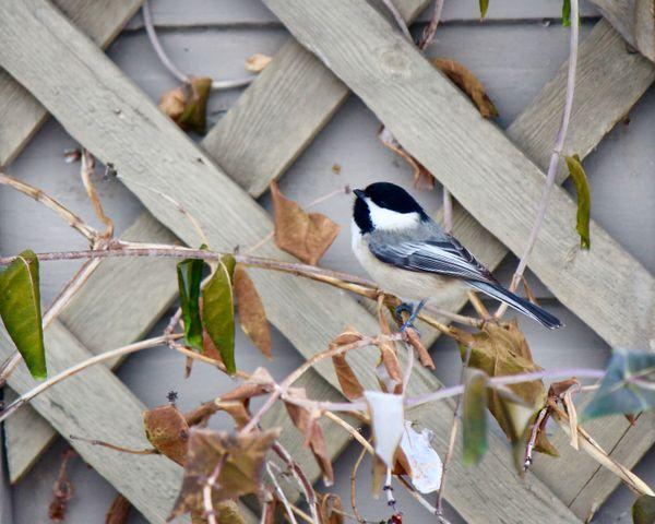Chickadee in the Garden thumbnail