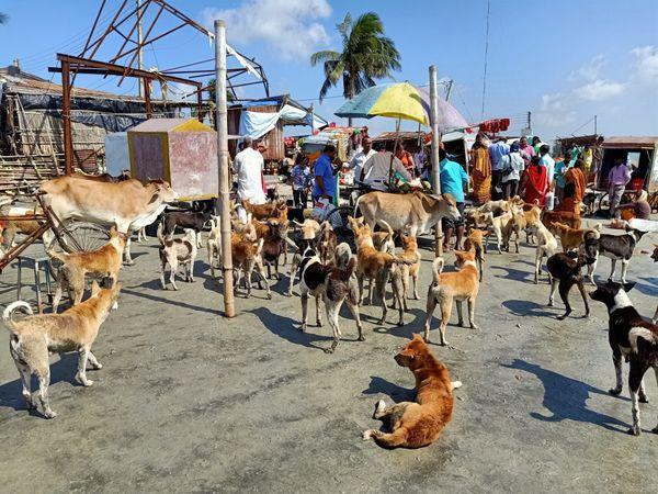Street dogs flock together on the beach at Sagar island thumbnail