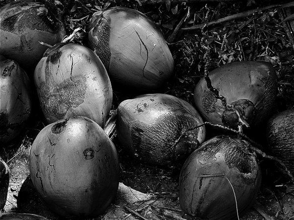 Coconuts in monochrome thumbnail