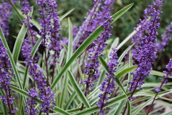 Bee on Liriope thumbnail