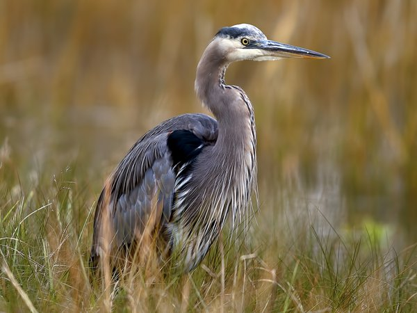 A Great Blue Heron in Cheseapeake marsh thumbnail