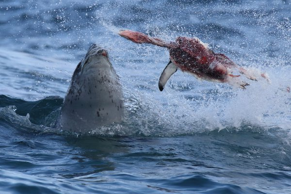 Leopard Seal Taking a Bite out of Penguin thumbnail