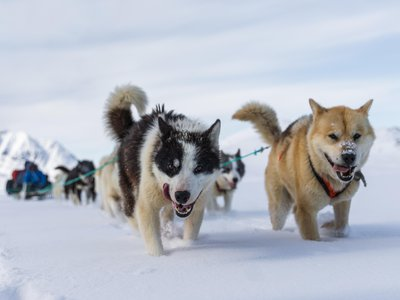 Greenland sled dogs at work