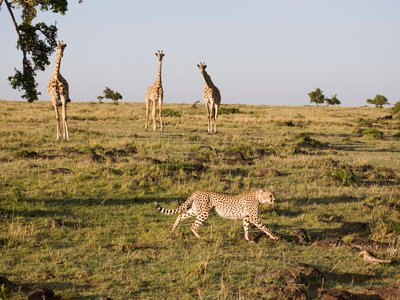 A cheetah stalks past a herd of giraffes in Kenya's Masai Mara National Reserve.