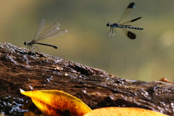 Blue jewel damselflies' courtship of female flapping wings for welcome thumbnail