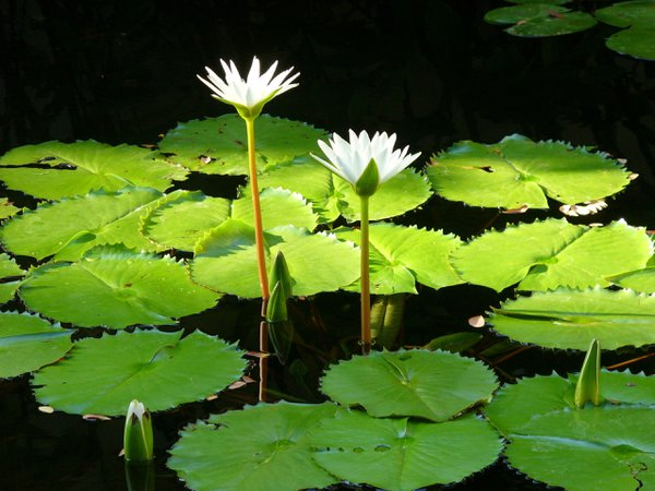 Illuminated water lilies on a crystal pond thumbnail