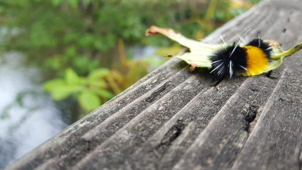 Caterpillar of Lophocampa maculata in Ketchikan, AK thumbnail