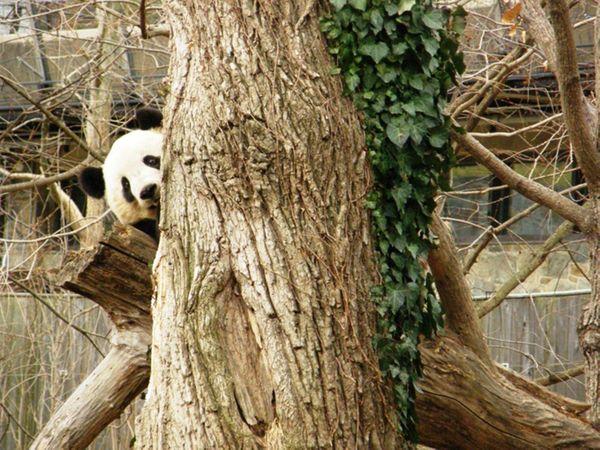 Tai Shan playing peek-a-boo around a tree at the Smithsonian's National Zoo. thumbnail
