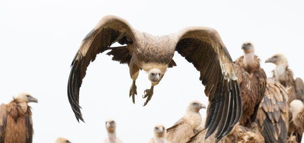 vultures II thumbnail
