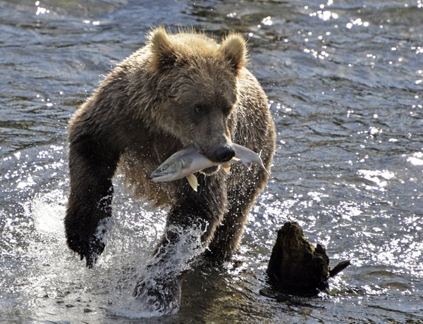 Young bear running in water with freshly caught fish thumbnail