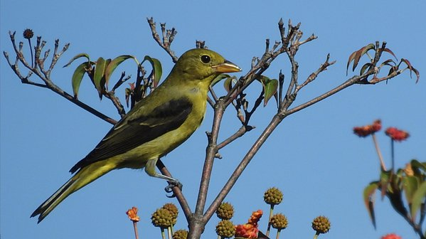 Scarlet Tanager (female) in dogwood tree. thumbnail