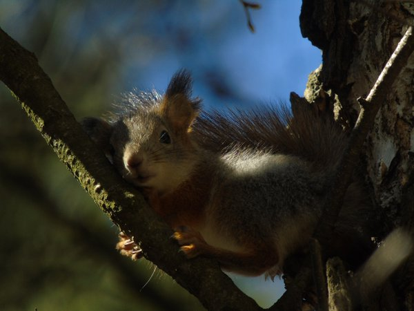 A little red squirrel's cub came out from his nest in the old forest-park near the river Talka. thumbnail